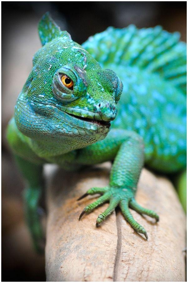 Lizard - Spiritual Meaning | Colorful lizards, Green ...