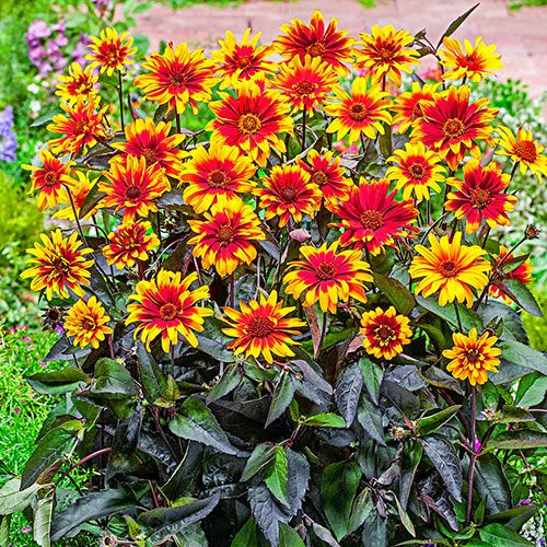False Sunflower Breeders Mixture (With images) Bulb