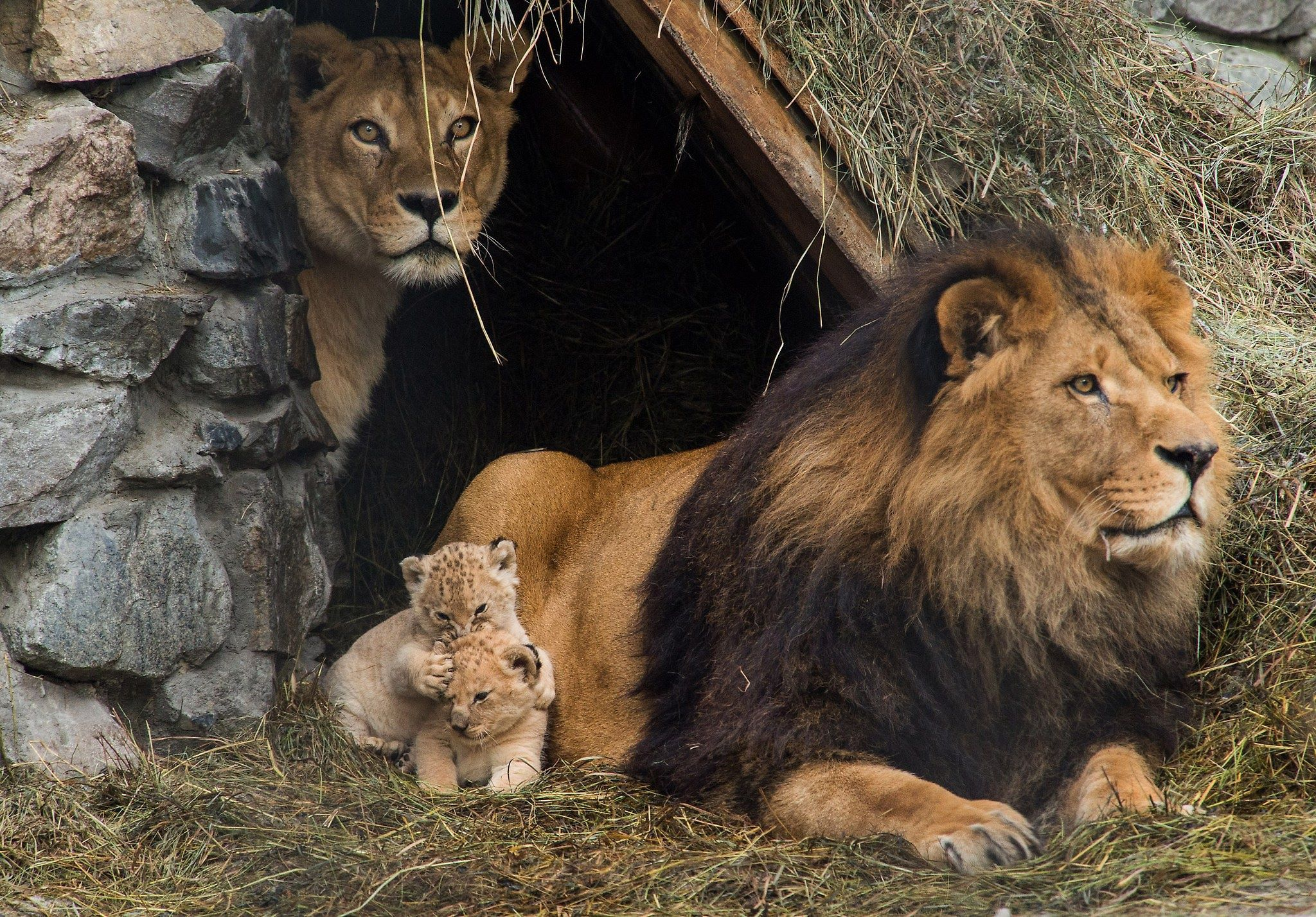 O Amor Maior De Uma Família: O Leão, Leoa (nome Científico: Panthera Leo) é Uma Espécie