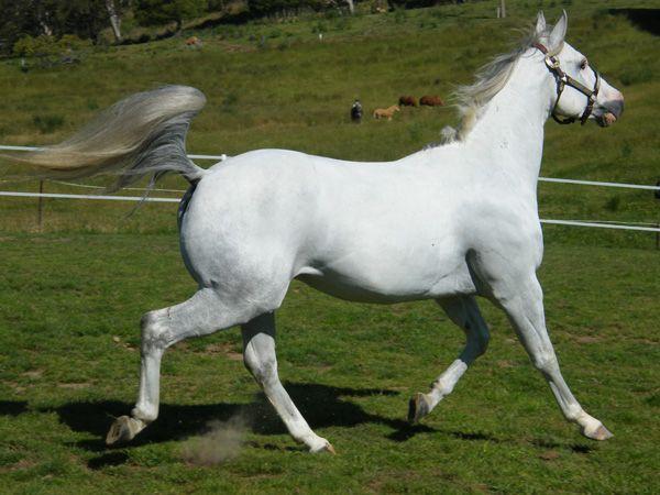 Blue Mountain Heza Delightful Scotch - Blue Mountain Paints and Quarter Horses