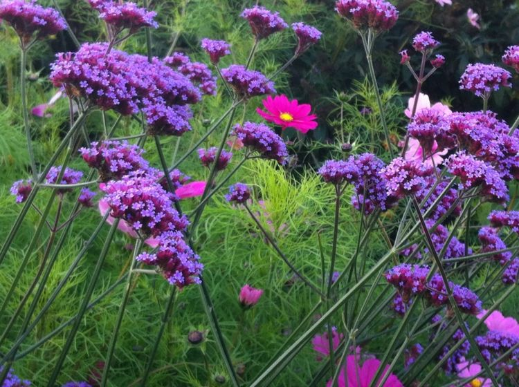 fleur verveine rigide en violet et fleurs roses pour vivifier la ...