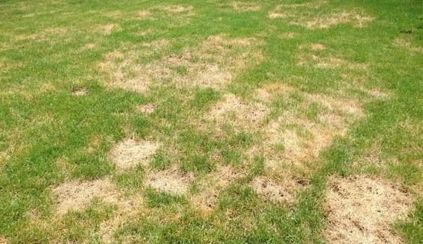 Answer Quora Lawn Treatment Lawn Care St Augustine Grass