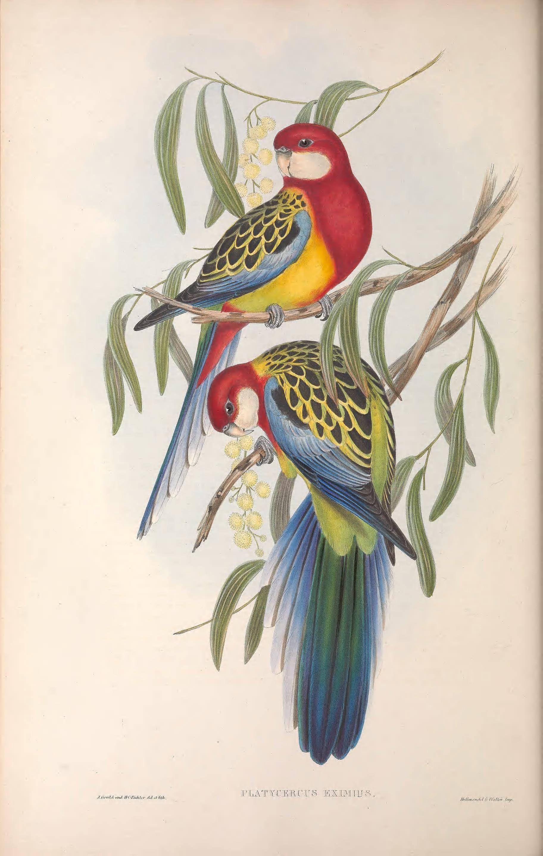 John Gould Canvas poster prints Australia vintage painting birds parrot art