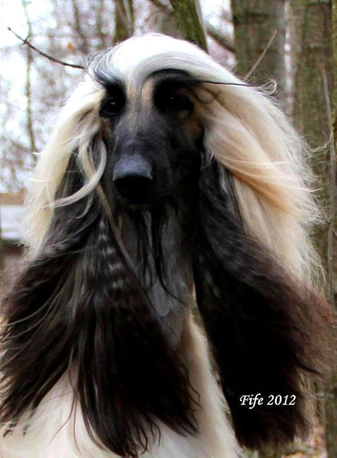 Afghan Afghan Hound Dogs Dog Breeds