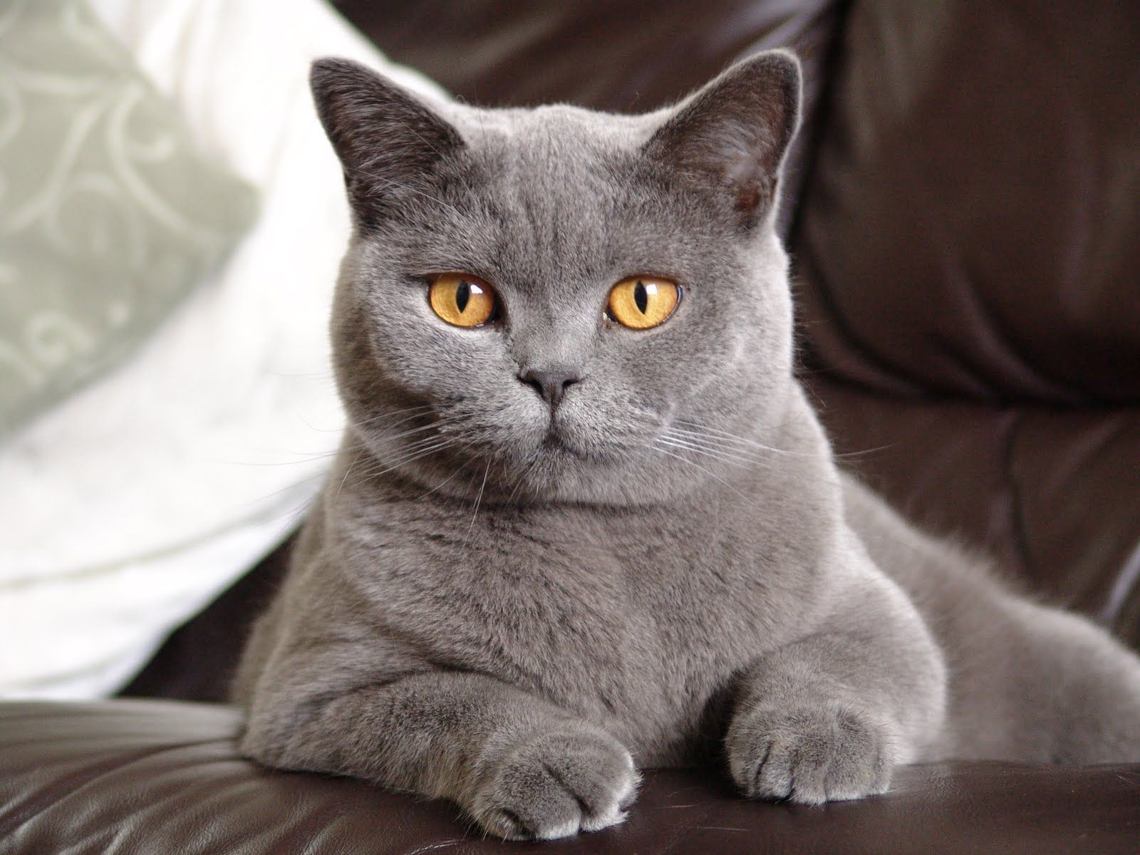 British Shorthair I would love to have a cat like this