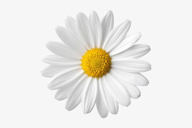 Margaridas Image Arts Daisy Flower Fundo Branco Png Transparente Daisy Image Daisy Flower Daisy
