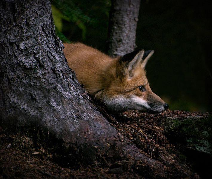 Red Fox by Ludovic Hubert