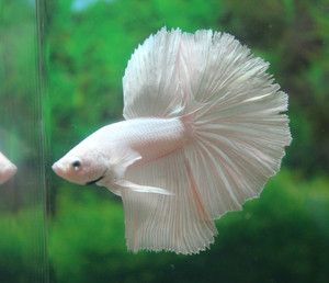 White Platinum Halfmoon Male Bettas | Fish | Pinterest ...