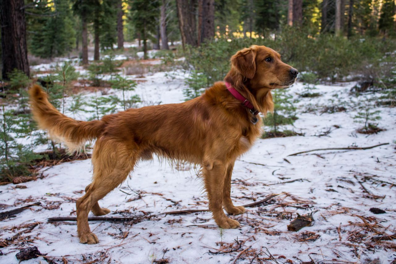 Jack Four Year Old Field Bred Golden Retriever Golden