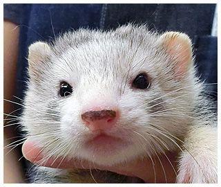 フェレット専門店 マーシャルフェレット販売 小岩ペット ペット用品 ペット 動物 かわいい