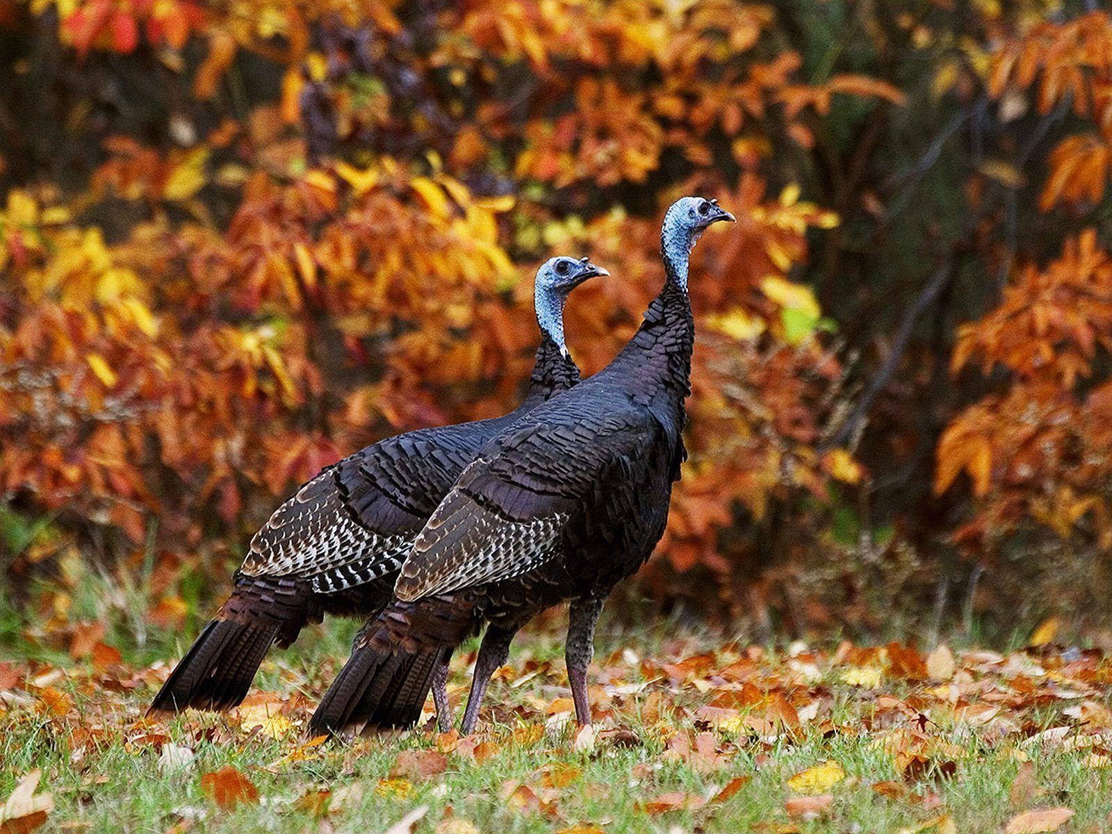 Fall Wallpaper Free Hq Wild Turkeys In Autumn Wallpaper Free Hq Wallpapers Autumn Animals Wild Animal Wallpaper Animals Wild