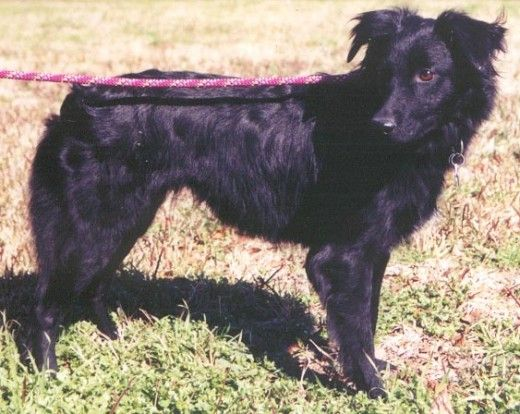 Common Black Australian Shepherd Color Patterns Black Australian