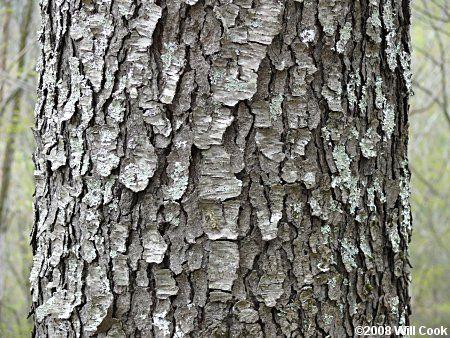 Black Cherry Prunus Serotina Black Cherry Tree Chokecherry Tree Tree Textures