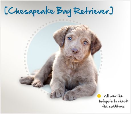 In 1807 An English Ship Wrecked Off Of The Coast Of Maryland Two Newfoundland Dogs Were Rescued From The Wreck Chesapeake Bay Retriever Chesapeake Dog Breeds