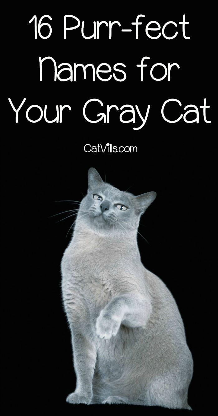 16 Purr Fect Gray Kitten Names You Ll Love Catvills Grey Kitten Names Kitten Names Grey Kitten