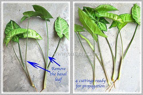 Propagating Syngonium Podophyllum By Shoot Tips Or Stem Sections Step 1 Arrowhead Plant Propagating Plants Arrowhead Vine
