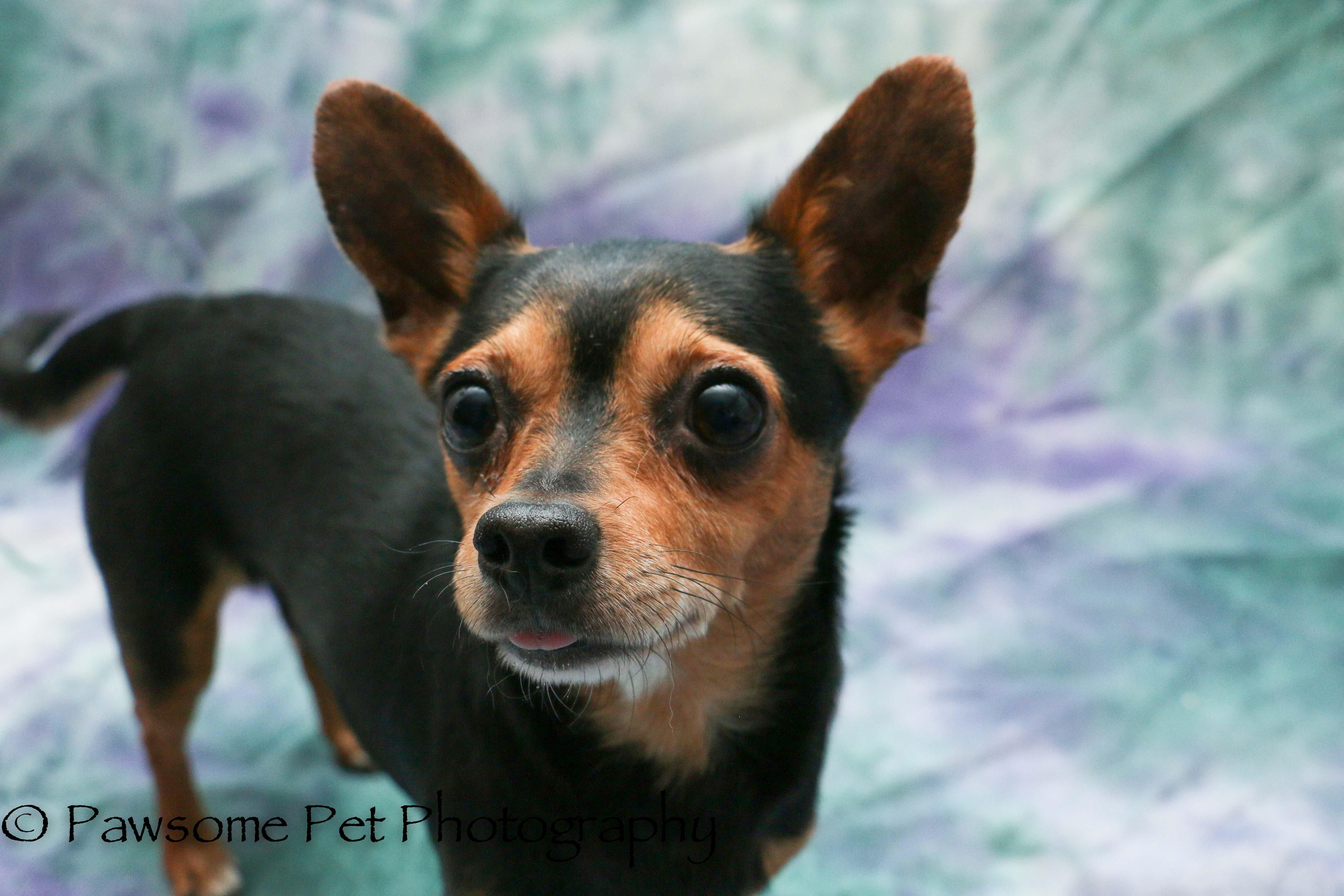Adopt Cj On Foster Dog Pets Chihuahua