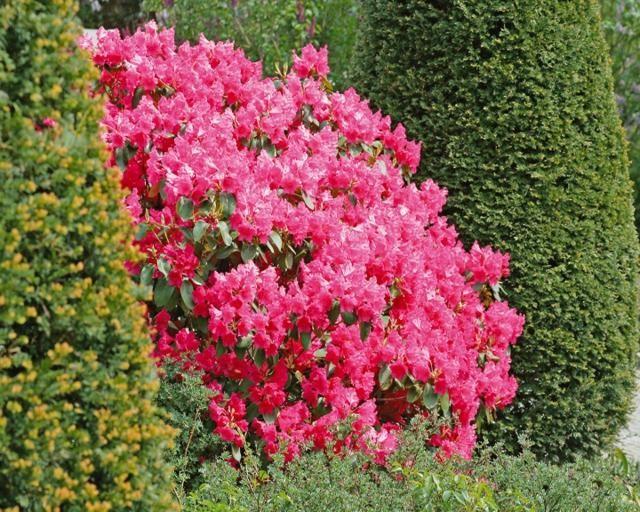 Id e de jardin cr er une haie fleurie et parfum e - Haie persistant fleurie ...