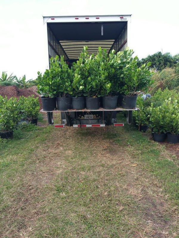 Clusia privacy plants for Sale in Stuart, FL OfferUp