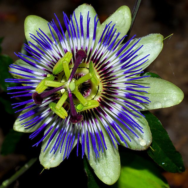 Passion Flower Passion Flower Tropical Flowers Plant Projects