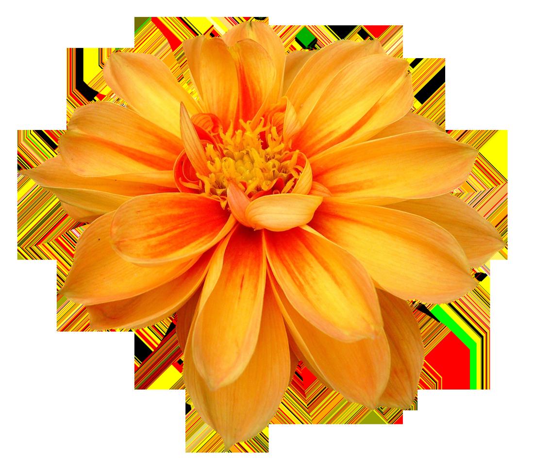 Dahlia Flower Png Image Flower Png Images Dahlia Flower Digital Flowers