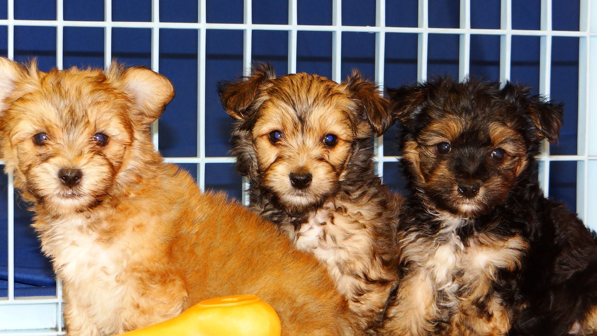 Havashire Puppies For Sale In Atlanta Georgia Ga Macon Savannah Augu Puppies For Sale Savannah Chat Puppies