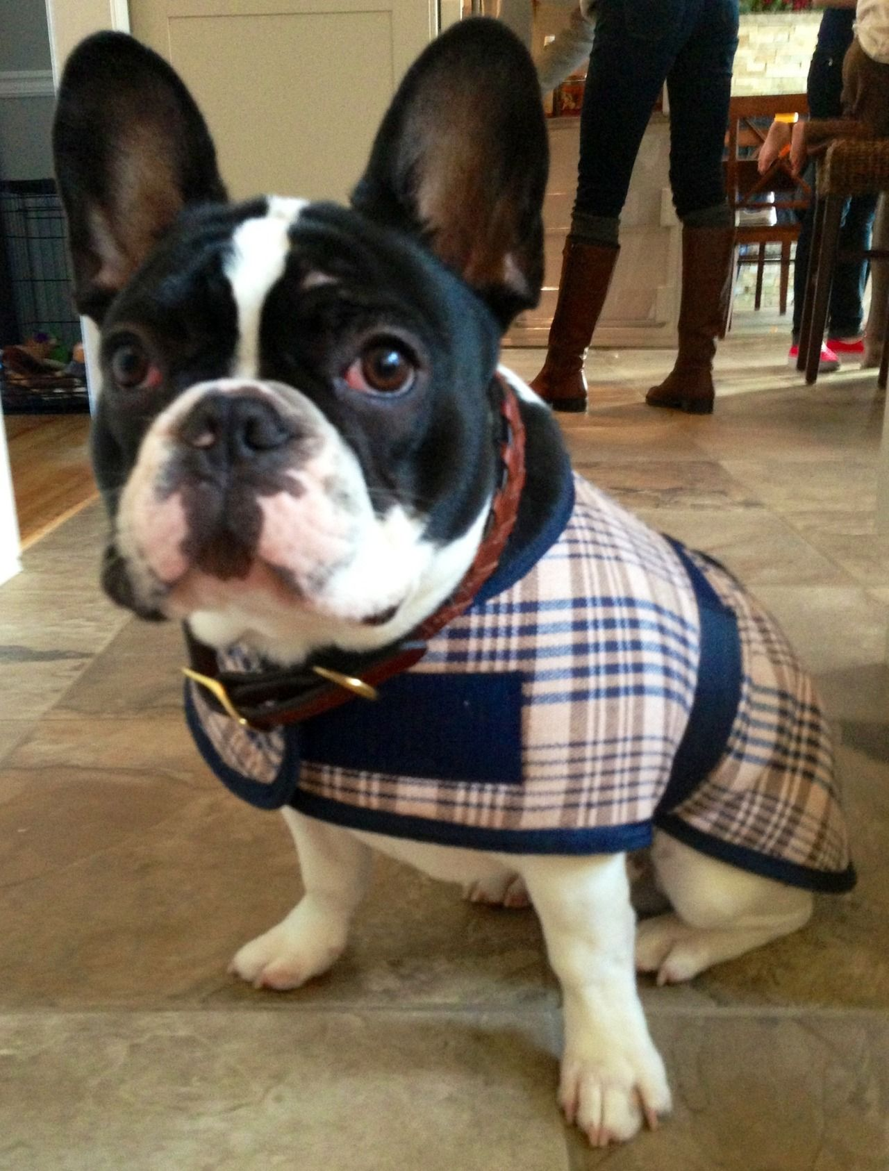 Tug The French Bulldog Very Dapper In His New London Plaid Coat