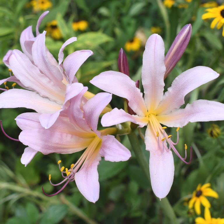 Magic Lilies Are The Fun Rosy Pink Flowers You Should Be 400 x 300