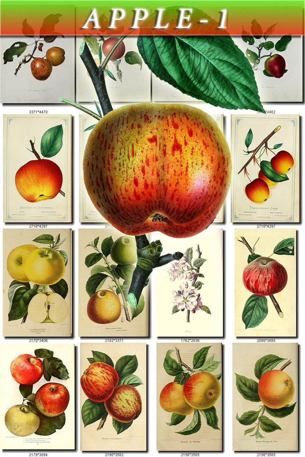 APPLE-1 Collection of 360 vintage images pyrus malus pictures High resolution digital download printable blooming succulent still life green by ArtVintage1800s on Etsy