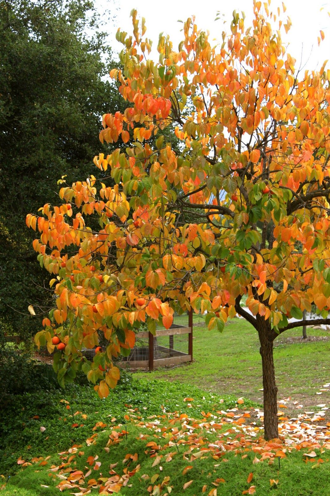 Persimmon tree shown in it 39 s fall glory a small tree to bring height to the front of this - Planting fruit trees in autumn ...