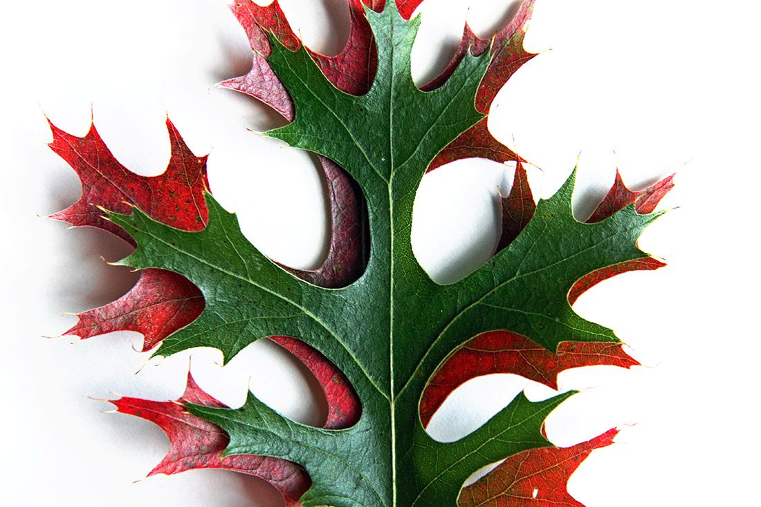 Red And Green Pin Oak Leaves Mary Jo Hoffman Mary Jo Hoffman Oak Leaves Tree Identification