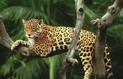 Jaguar byY.-J. Rey Millet