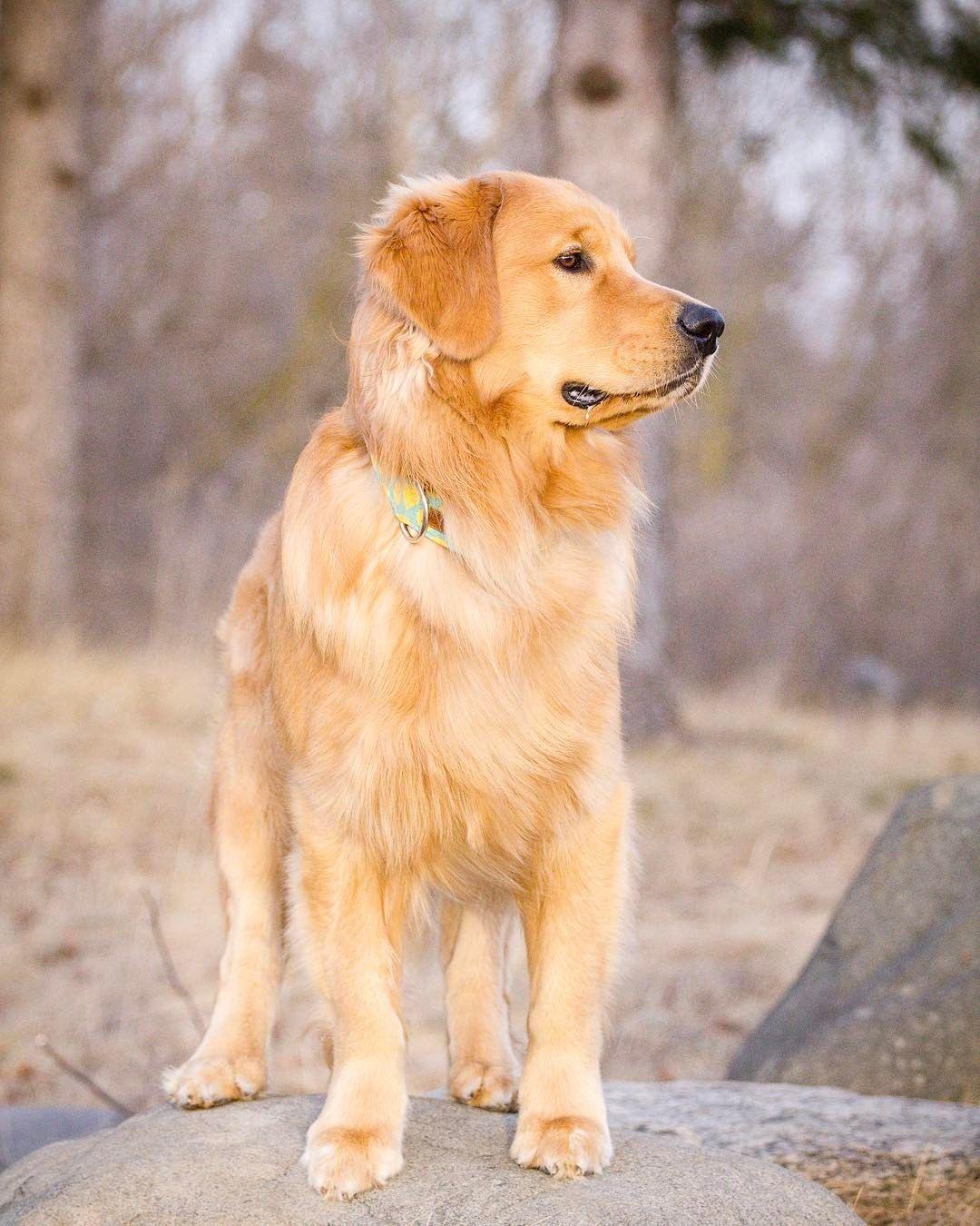 Jaxson Most Popular Dog Breeds Golden Retriever Animals Beautiful
