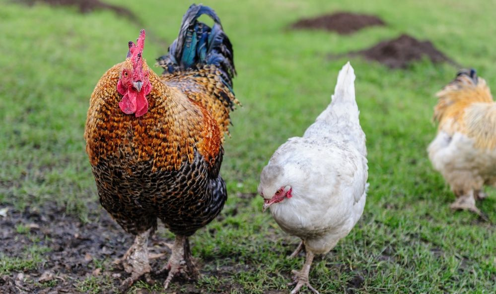 How To Tell A Rooster From A Hen Male Vs Female Differences Chickens Backyard Raising Backyard Chickens Raising Chickens