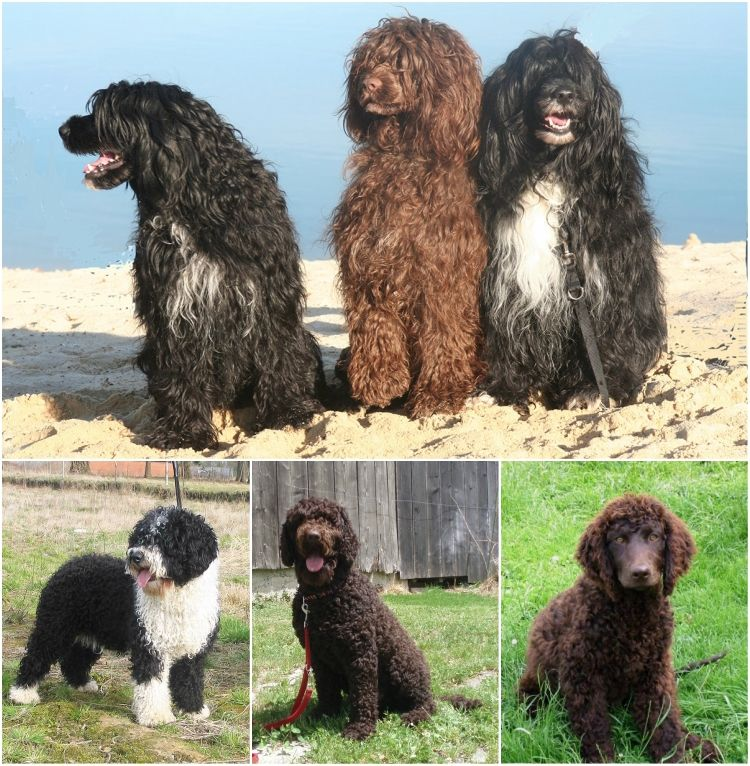 Bichon Mit Bildern Hunde Filztiere Goldendoodle