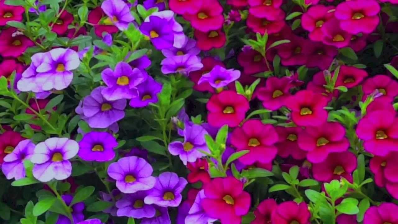 How To Grow Flowers Easy Annuals With Low Maintenance By Smith