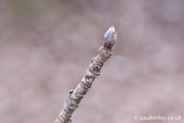 A Handy Guide To Identifying Trees From Their Buds Tree Buds Identifying Trees Trees To Plant