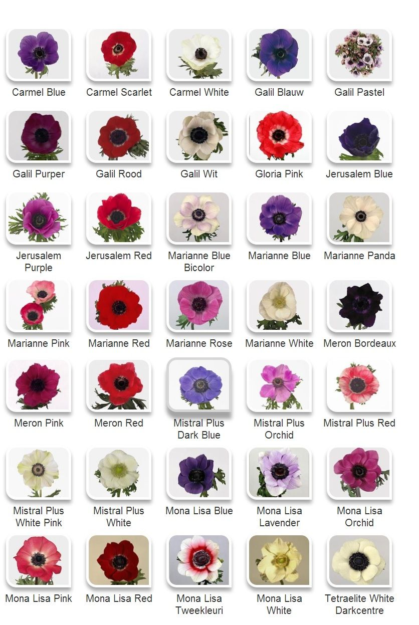 Anemone Colors Anemone Flower Spring Flowers Flower Farm