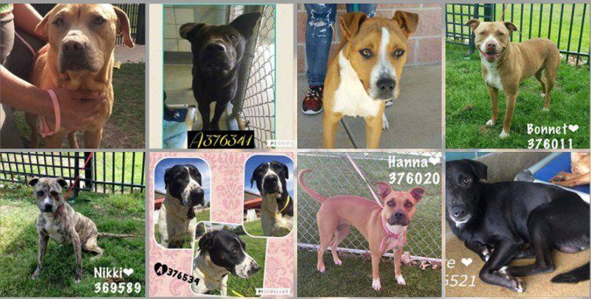 "** Athina ** on Twitter: ""#LastChance #SanAntonio,#TX 4/9 Saturday's #Urgent #Dogs/#Puppies! @Risk Of EUTH @9:30AM https://t.co/tmunOgpUNF https://t.co/znz4f60qIg"""