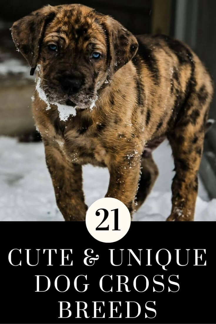 21 cute unique dog cross breeds you need to know about dog and 21 cute unique dog cross breeds you need to know about geenschuldenfo Images