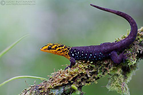 Maravilhoso! Shieldhead Gecko (Gonatodes caudiscutatus)