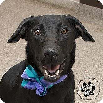 I am at a full, kill shelter in Troy, OH Labrador