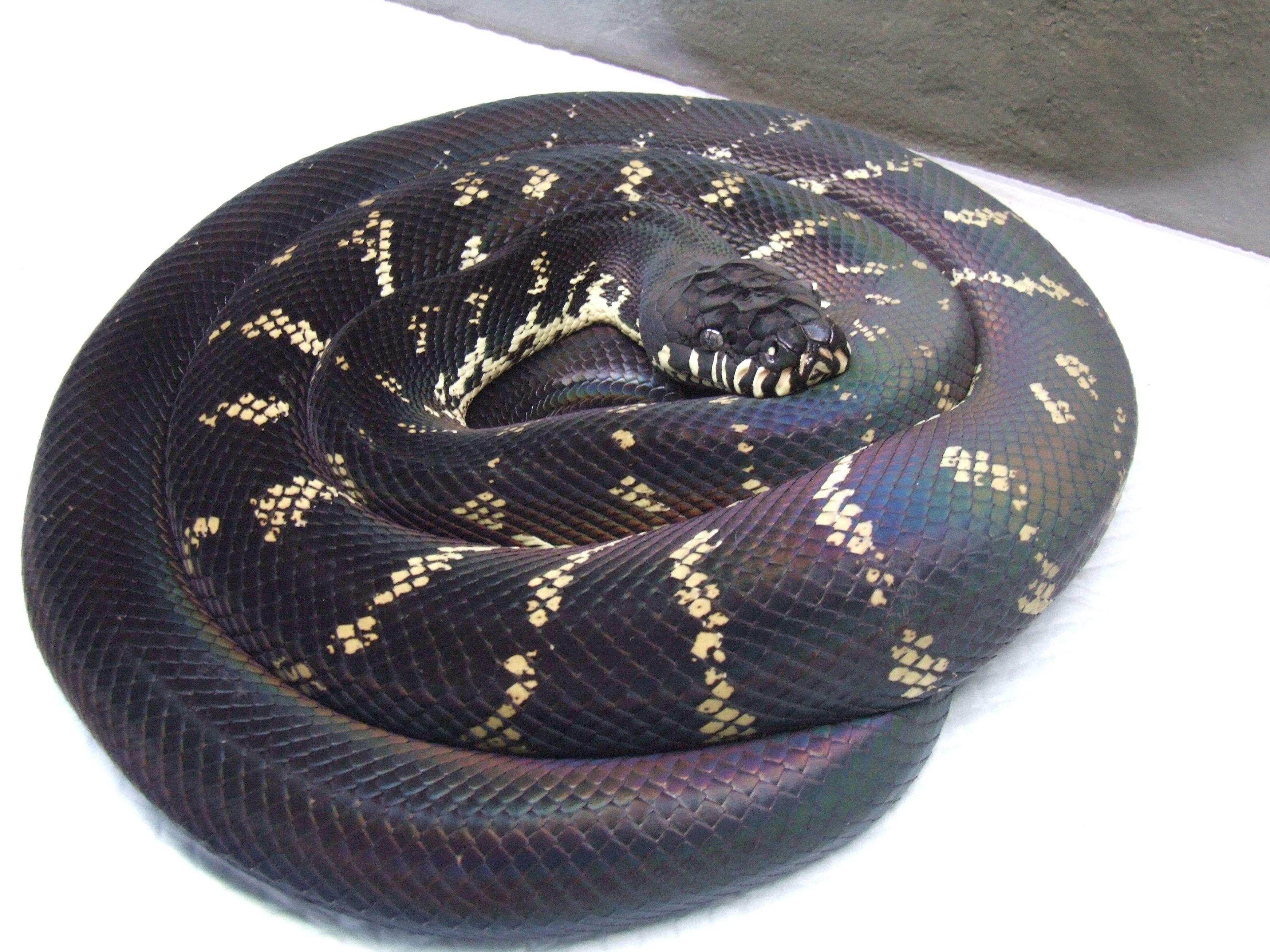 Boelens Python, saw one at the Atlanta Zoo Python