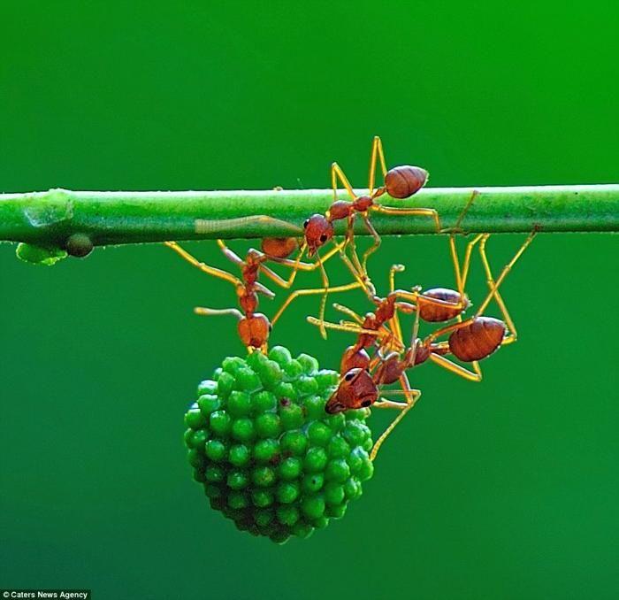 芭蕉blog パワフルな蟻が驚異的なチームワークでミモザの実を運びます 10p 1v 節足動物 虫かご チームワーク