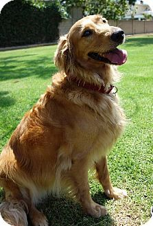 Los Angeles Ca Golden Retriever Meet Marble A Dog For Adoption