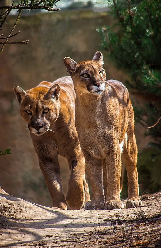 ef65ac1d8627e Majestic male and female mountain lions #pumas #cougars #lions ...