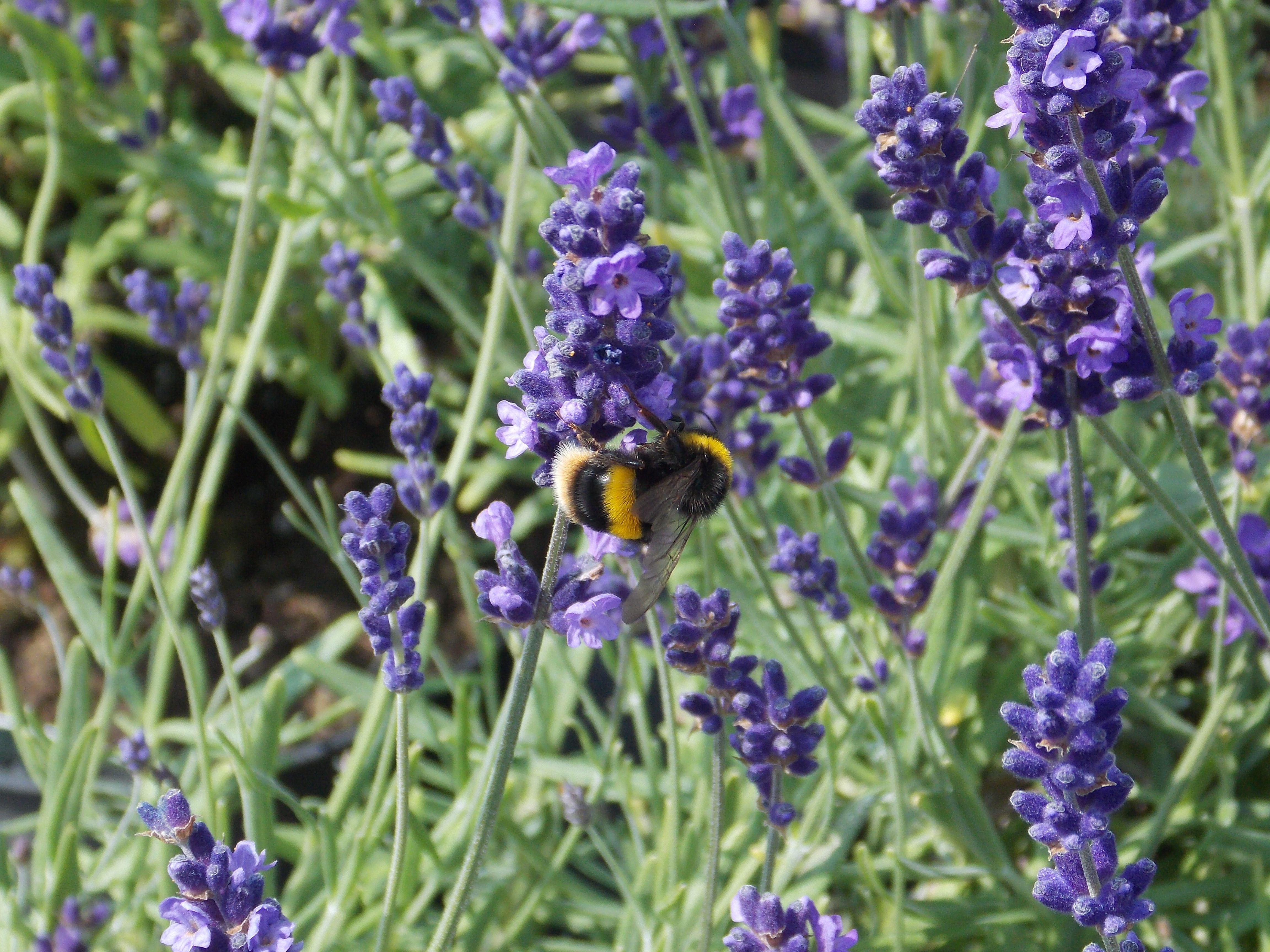 Bees Lavender. (With images) Garden express, Buy
