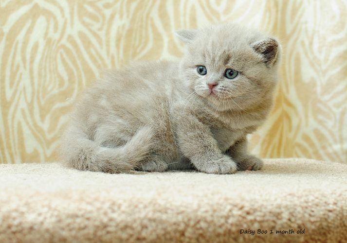 British Empire Cats Gallery Kittens British Shorthair Cats Kittens Cats