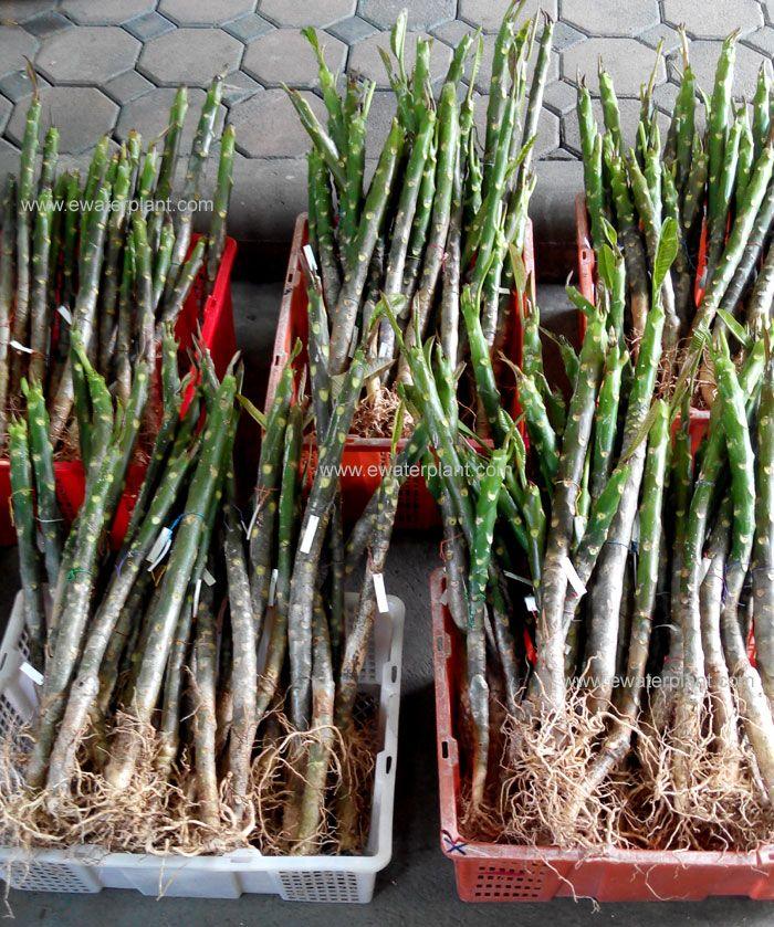Plumeria Thailand For Sale Plumeria Plumeria Flowers Tropical Flowers
