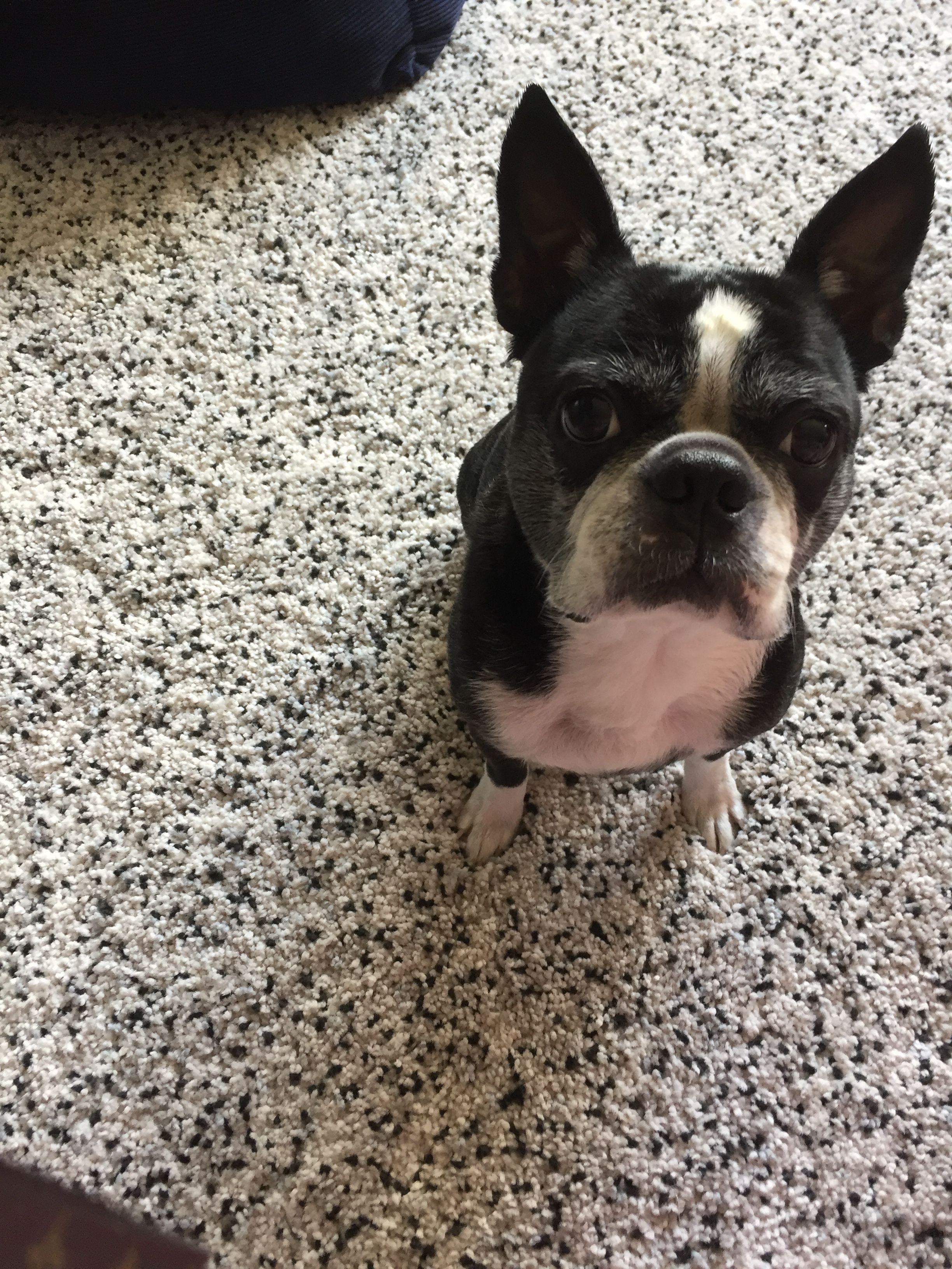 After Bath Treat Pets Boston Terrier Terrier